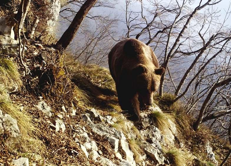 TV-Tipp: Die Rückkehr der großen Raubtiere - Bär im Trentino