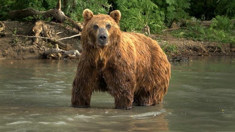Russlands versteckte Paradiese: Ein großer Braunbär steht in einem Fluss, sein Fell ist nass.