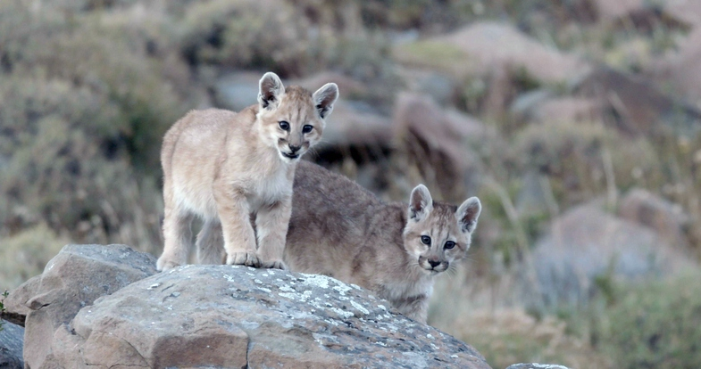 Nat Geo Wild präsentiert Big Cat Februar