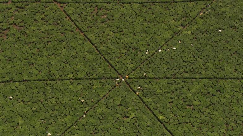 TVTipp: Faszination Erde. Teeplantagen in der Region Kericho, Kenya