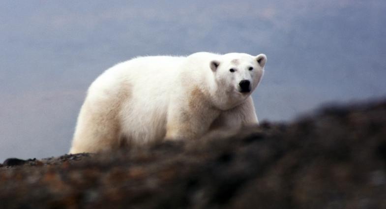 TV-Tipp: Amos Nachoum - das Foto seines Lebens. Eisbär