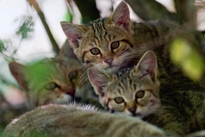 Rezension: Wildkatzen. Rückkehr in unsere Wälder