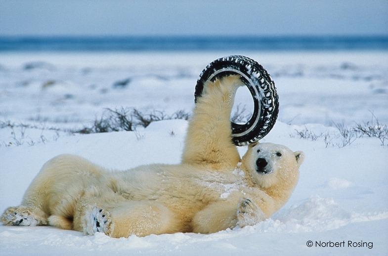 Norbert Rosing. Wilde Arktis – Im Reich der Eisbären